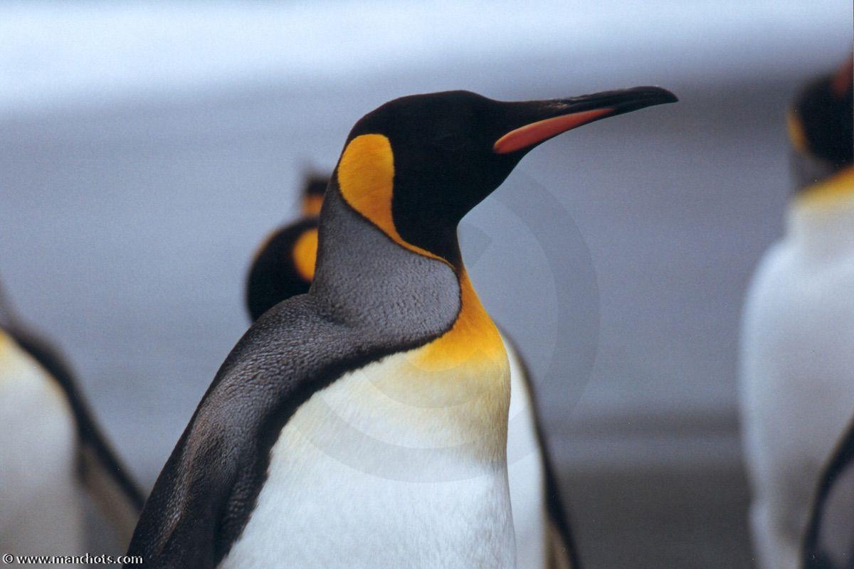 quel est le plus grand de tous les pingouins